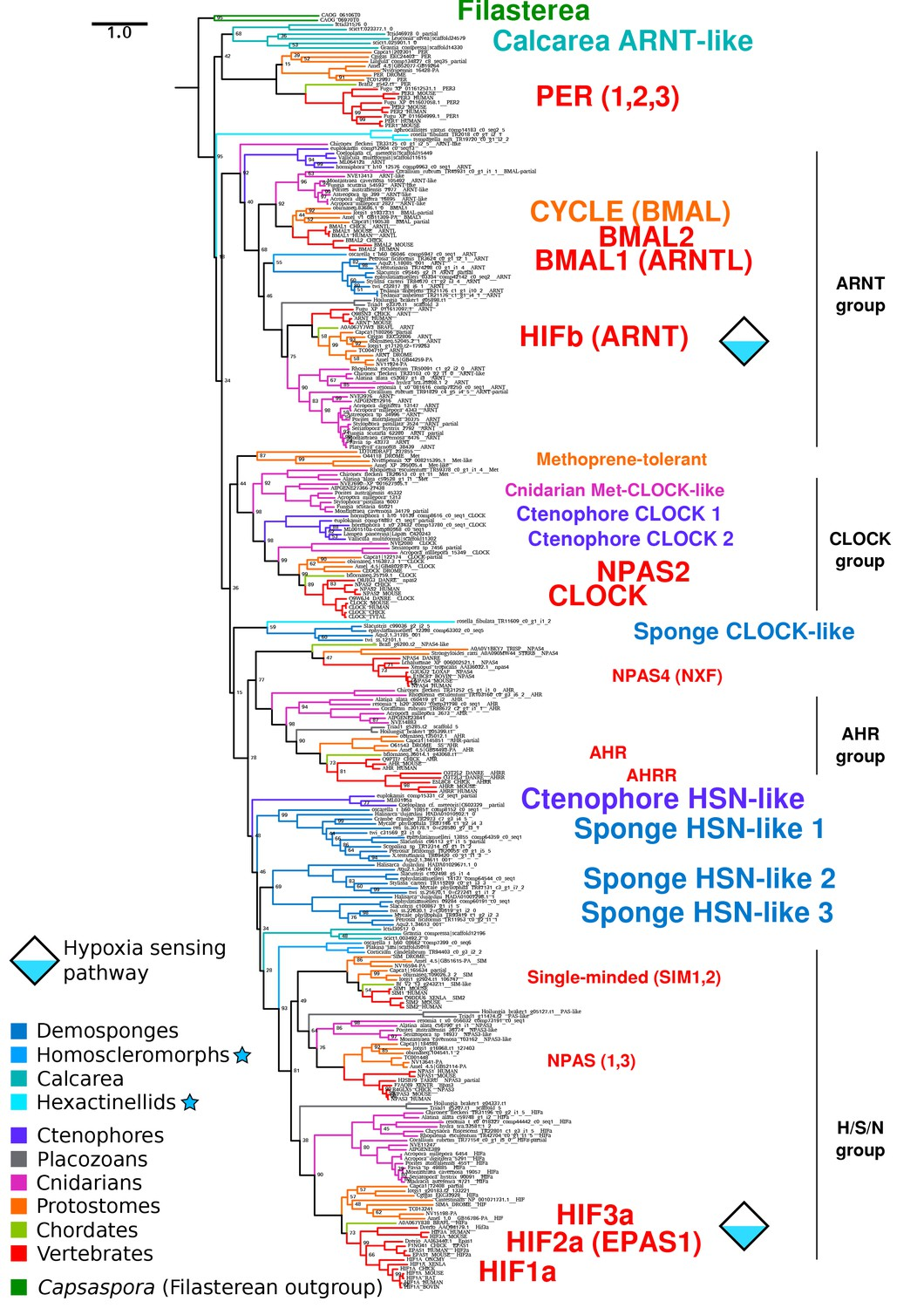 The last common ancestor of animals lacked the HIF pathway