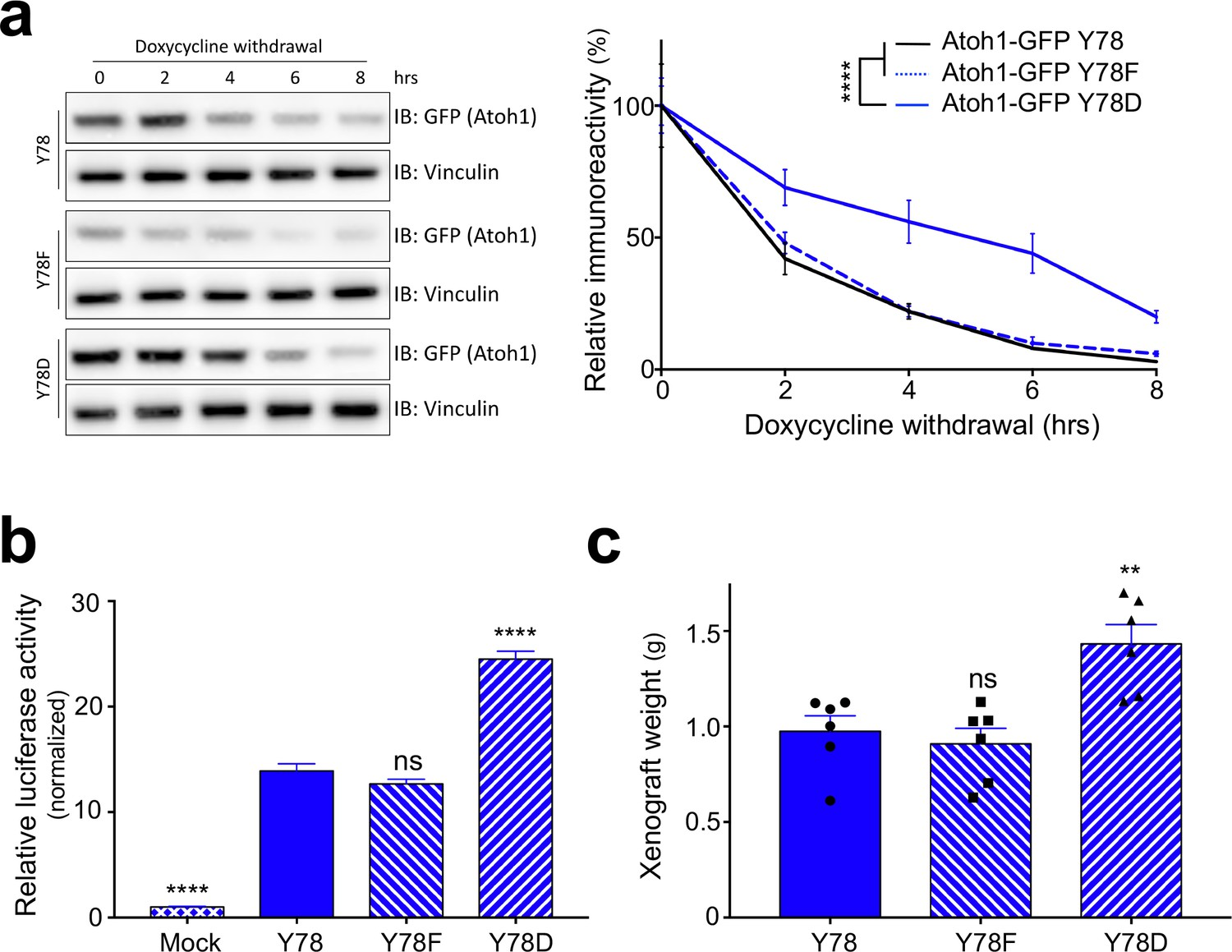 Jak2-mediated phosphorylation of Atoh1 is critical for