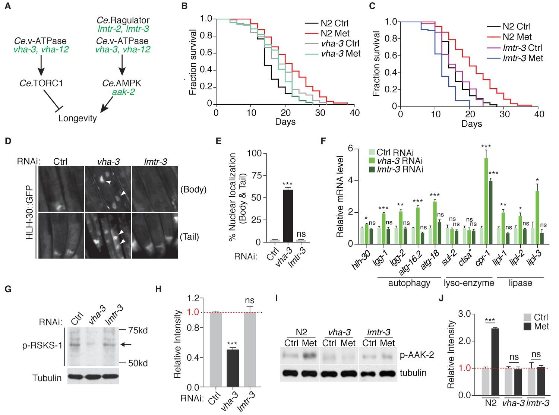 Metformin extends C  elegans lifespan through lysosomal pathway | eLife