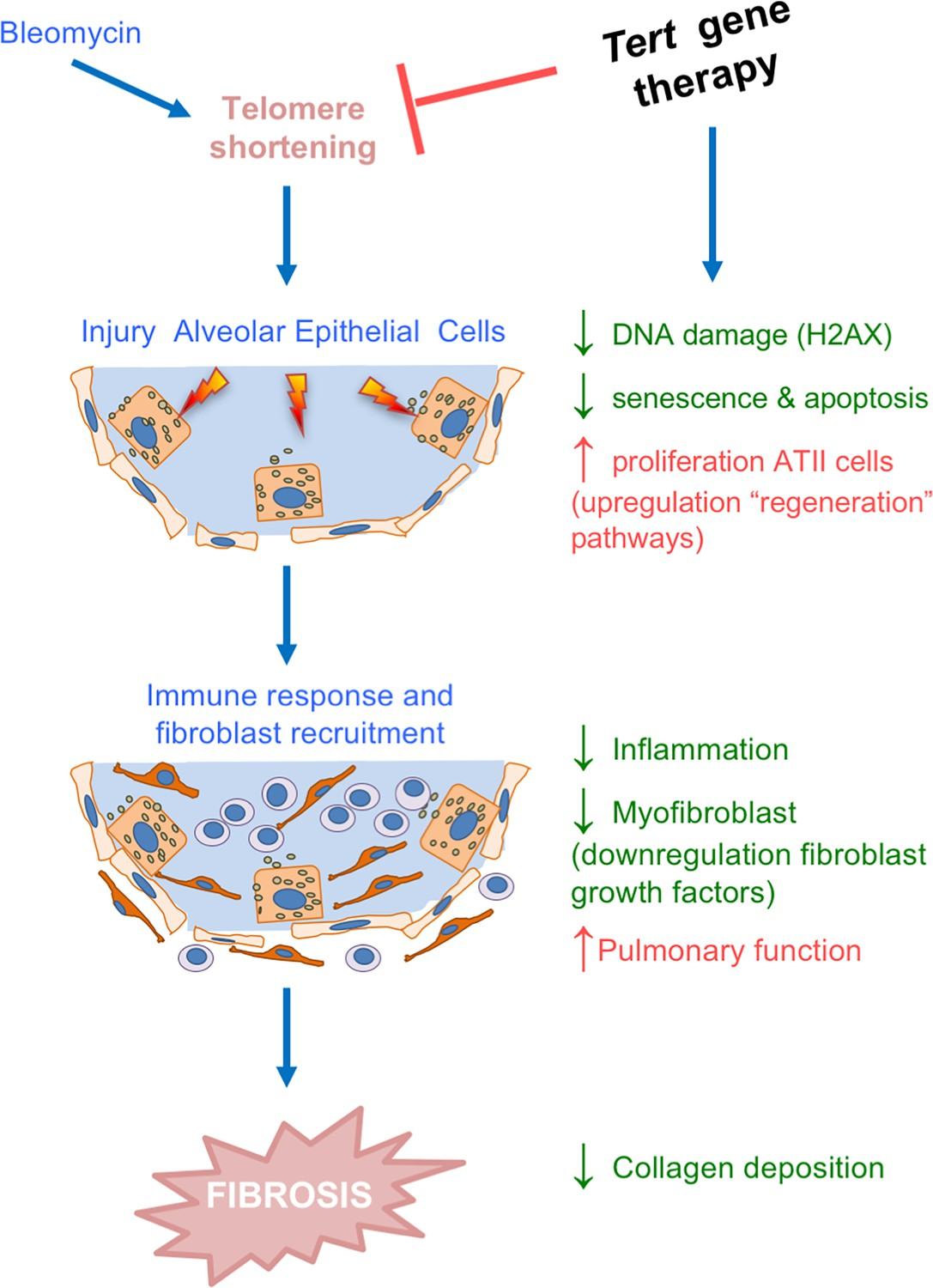 Therapeutic effects of telomerase in mice with pulmonary fibrosis