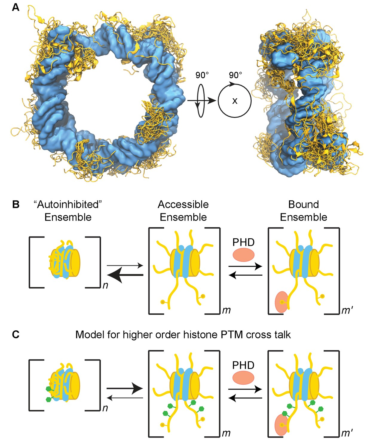 The Conformation Of The Histone H3 Tail Inhibits