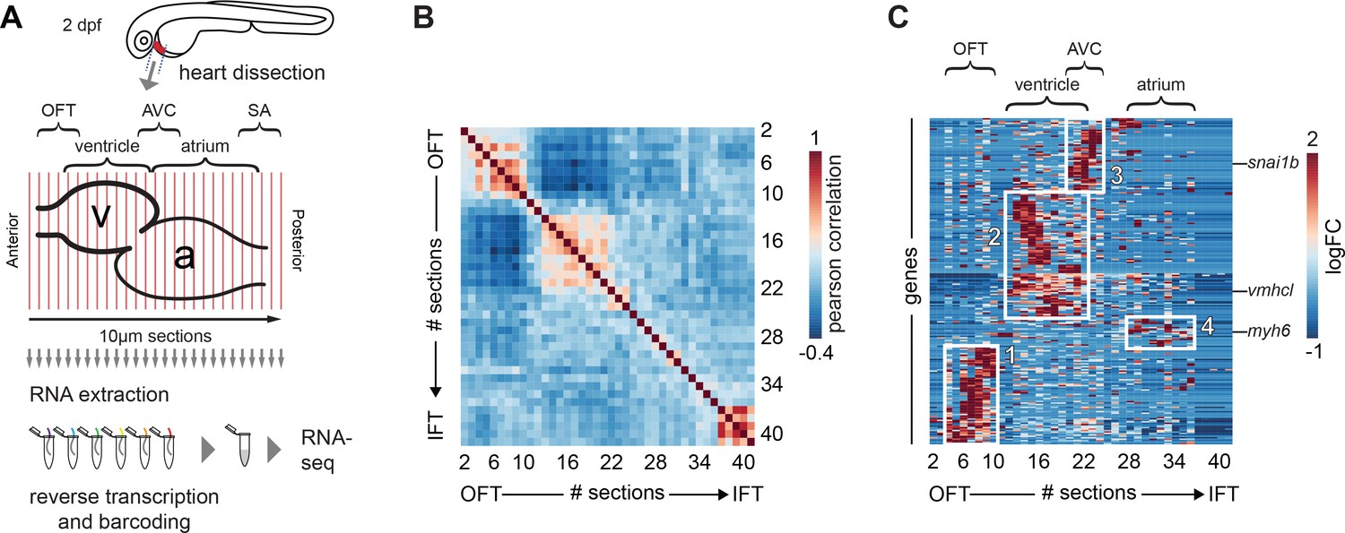 Spatially resolved RNA-sequencing of the embryonic heart