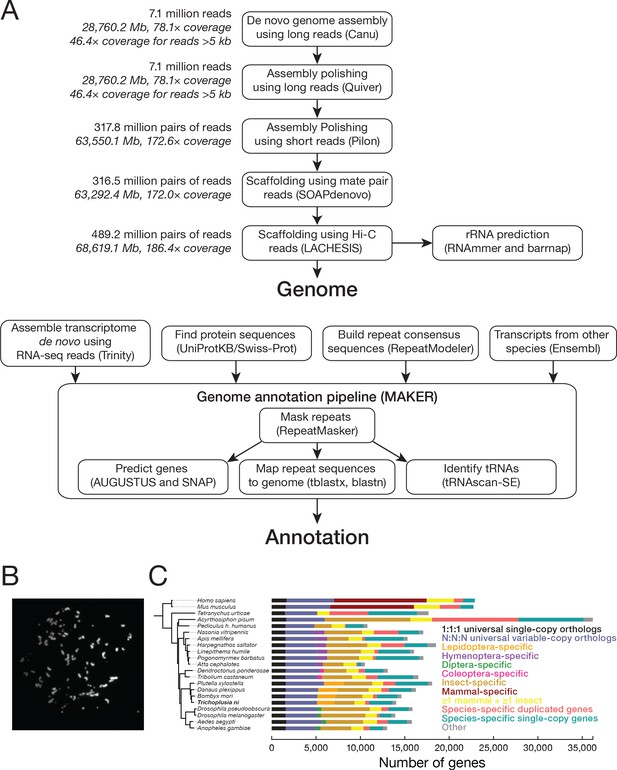 The genome of the Hi5 germ cell line from Trichoplusia ni