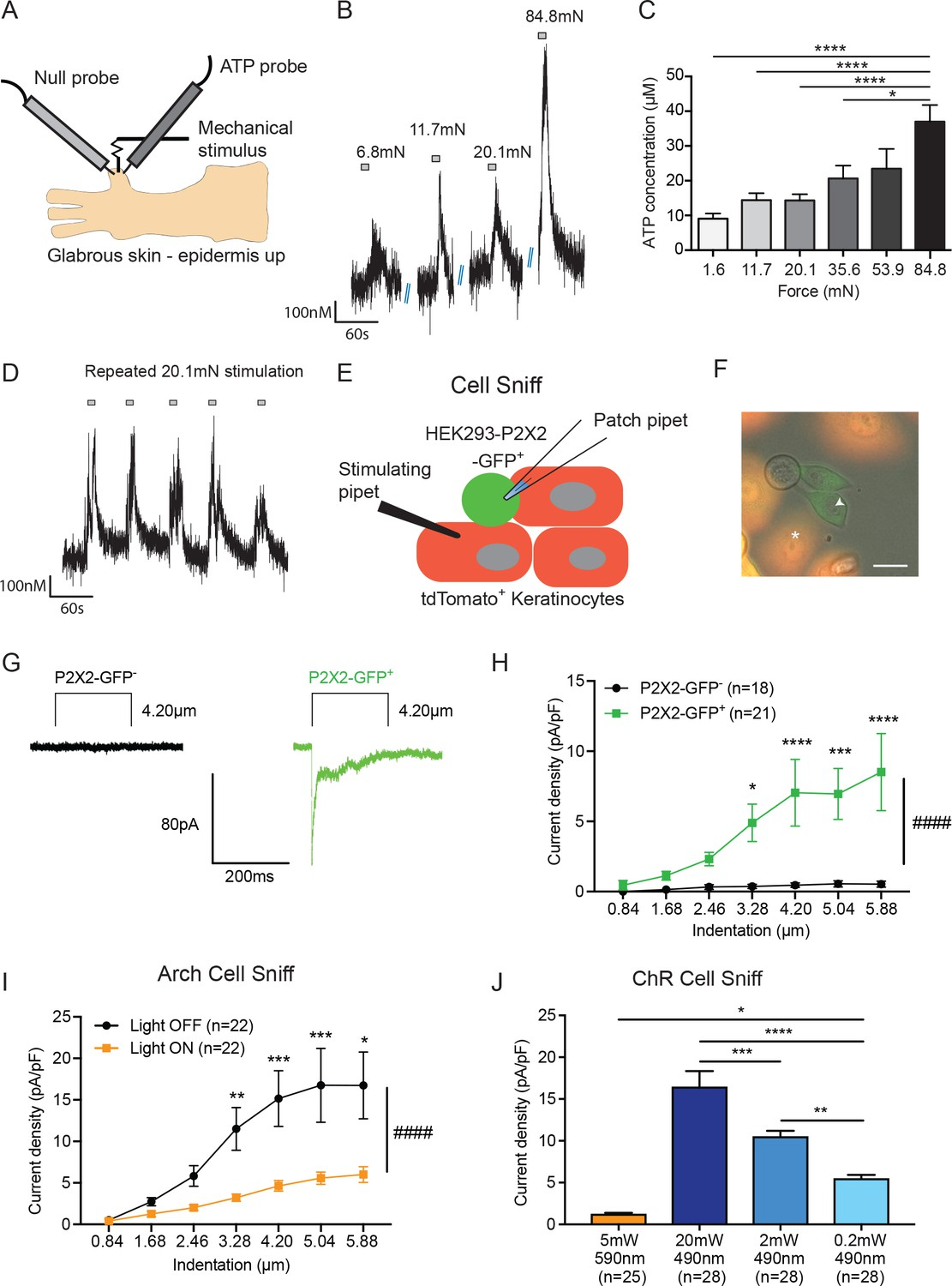 Keratinocytes Mediate Innocuous And Noxious Touch Via Atp P2x4 Circuits Gt 6 12 Volt Adjustable Power Supply Circuit Schematic Is Released From Both Mechanically Optogenetically Stimulated Optogenetic Inhibition Of Dampens This Release