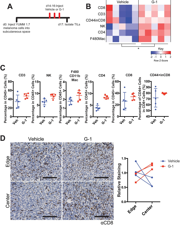 Activation of G protein-coupled estrogen receptor signaling