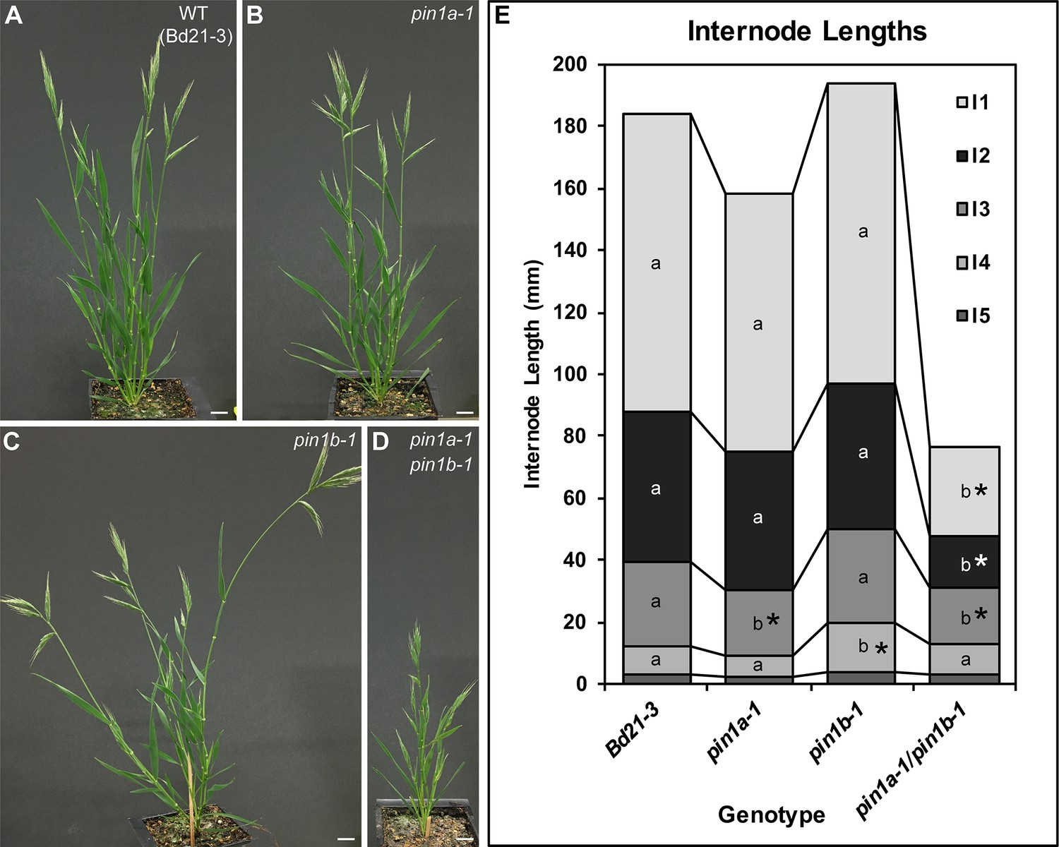 Cross-species functional diversity within the PIN auxin