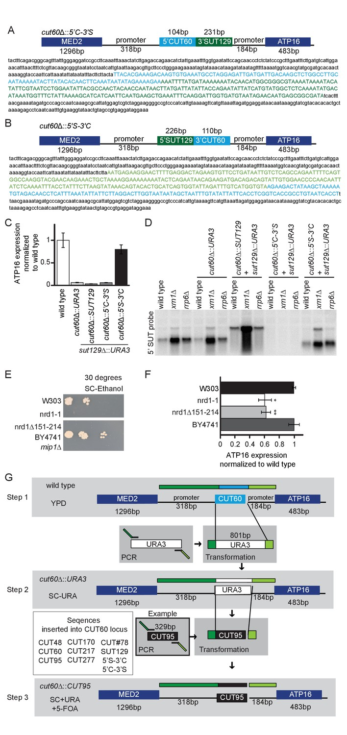 Figures And Data In Efficient Termination Of Nuclear Lncrna Circuit Wizard Screenshot Genomic Replacement Cut60