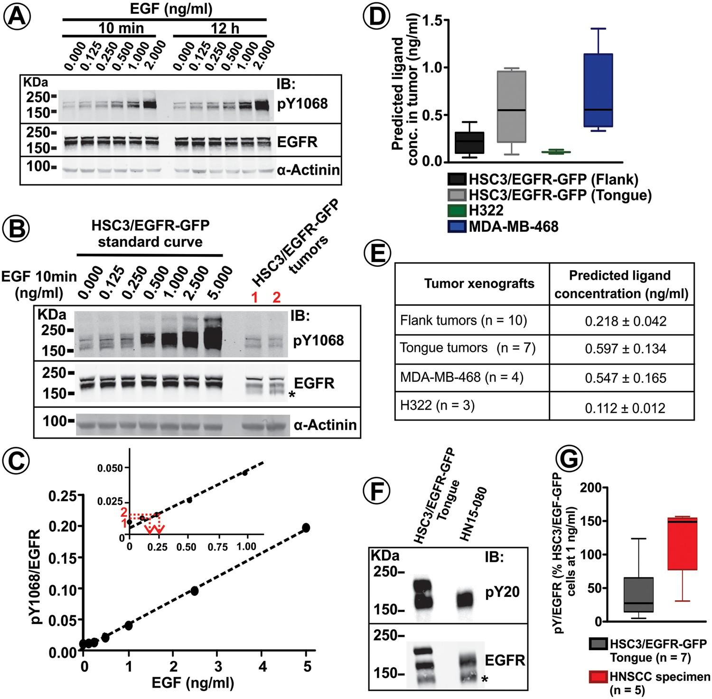 EGF receptor signaling, phosphorylation, ubiquitylation and