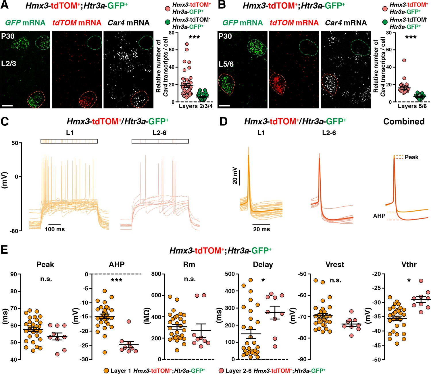 Neurogliaform cortical interneurons derive from cells in the