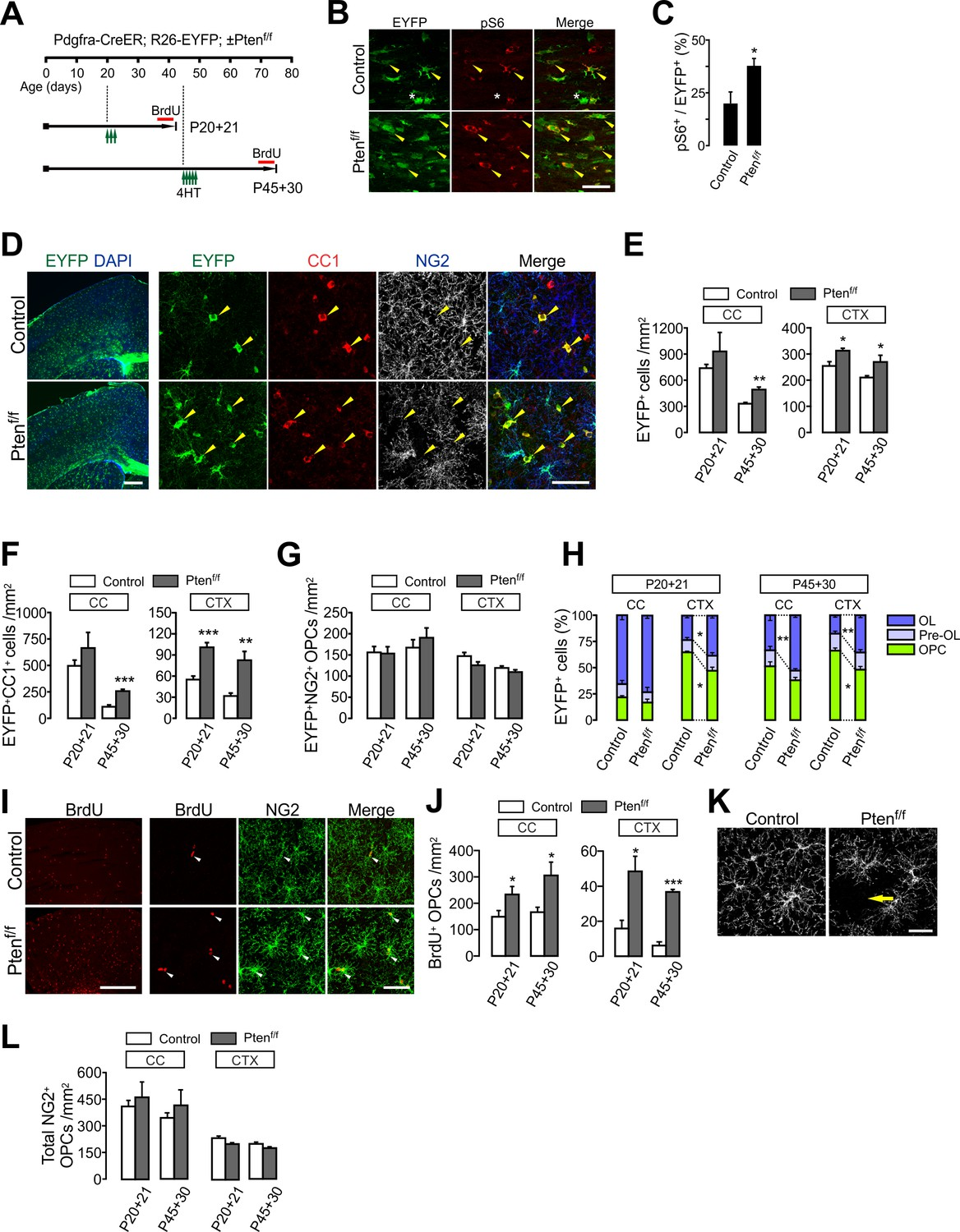 PTEN negatively regulates the cell lineage progression from