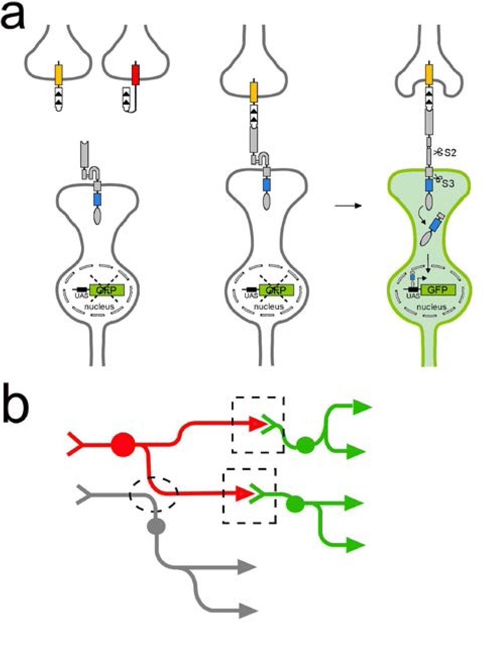 Tracing Neuronal Circuits In Transgenic Animals By Transneuronal September 2013 Diagram Circuit Tract Using Ligand Induced Intramembrane Proteolysis To Reveal Of Neurons Connected Synapses
