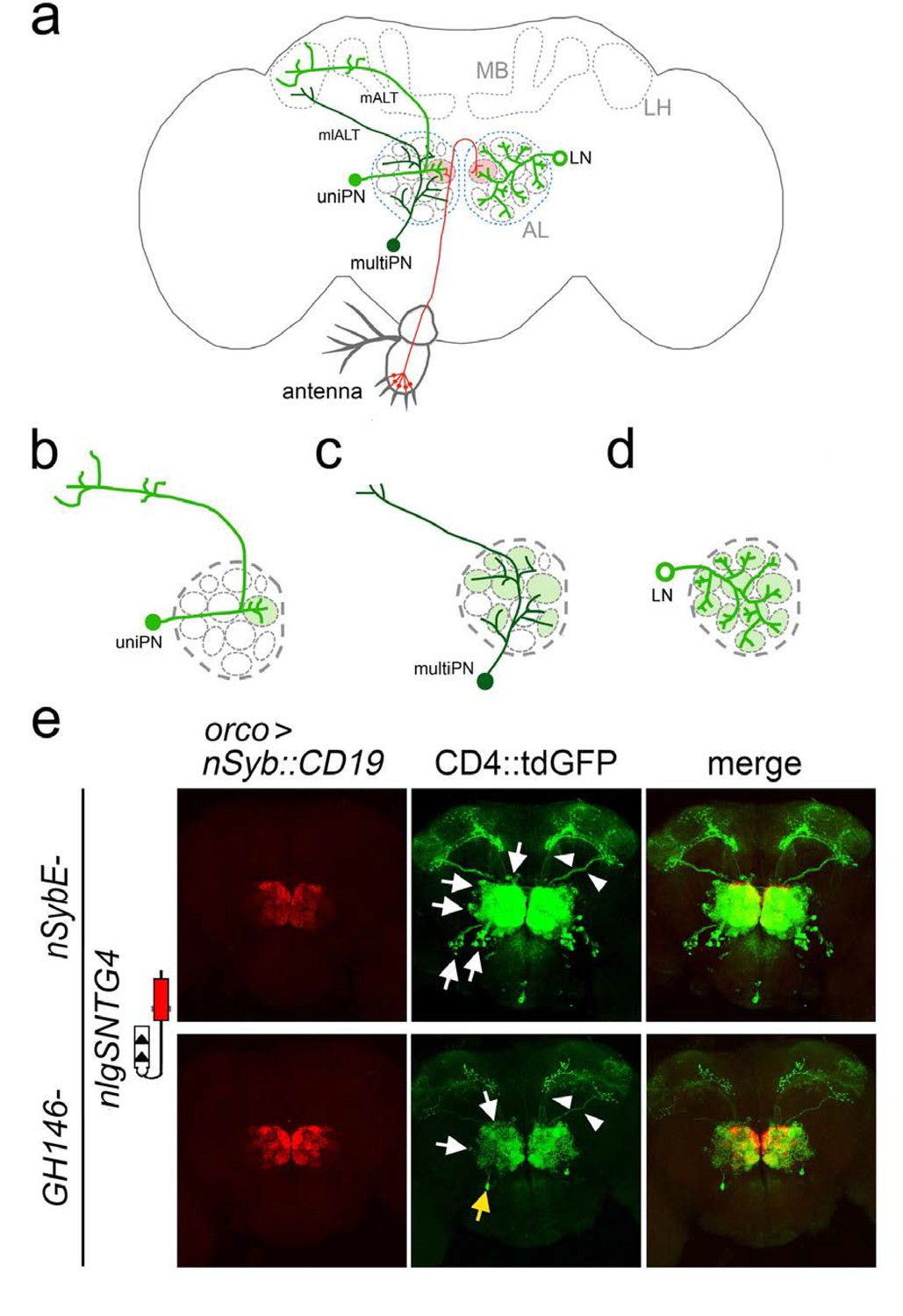 Tracing Neuronal Circuits In Transgenic Animals By Transneuronal Led Light Organ Circuit Diagram Lab Connections Between Olfactory Receptor Neurons And Antennal Lobe Revealed Tract