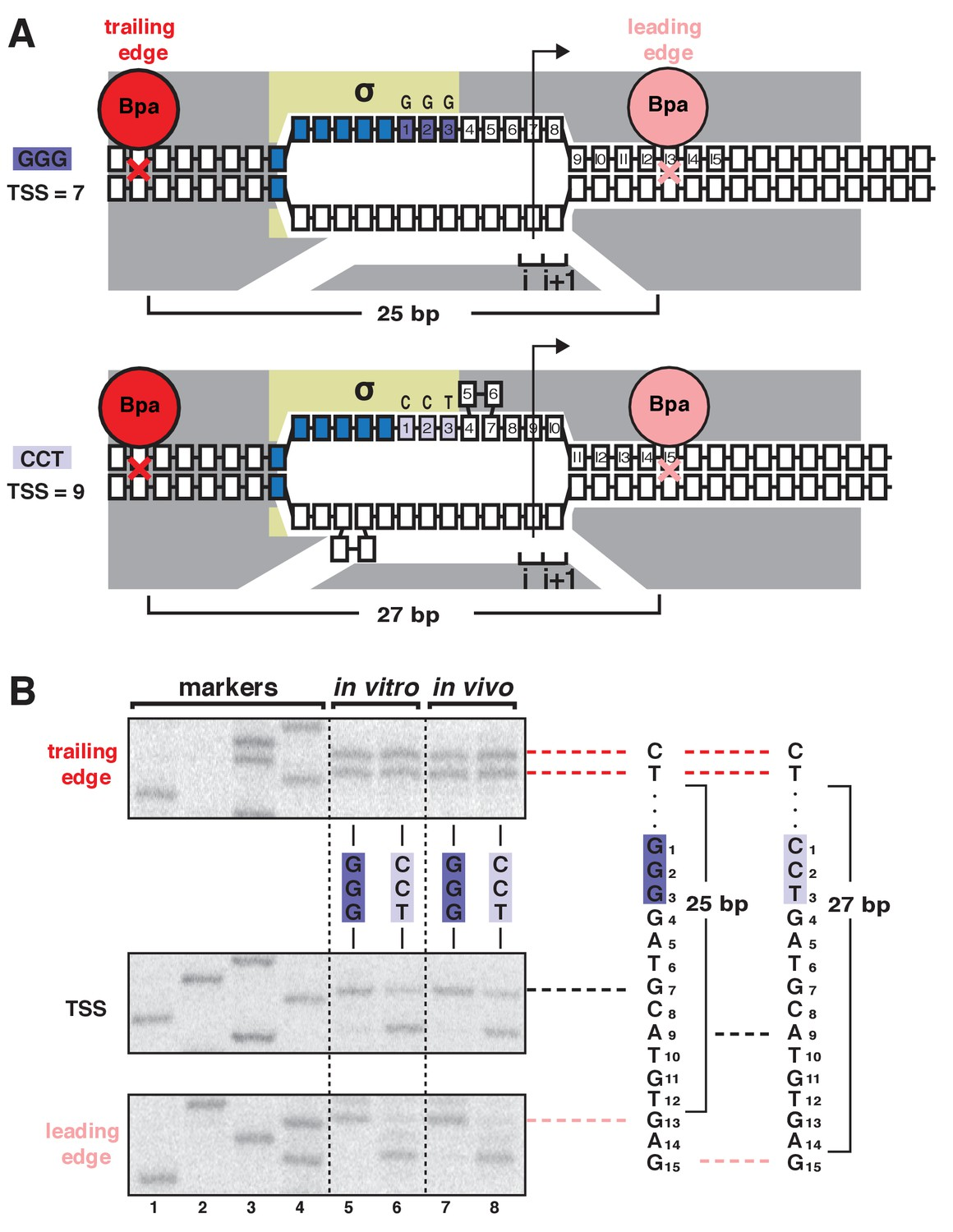The Mechanism Of Variability In Transcription Start Site Selection Whelen Gamma 2 Wiring Diagram Tss Exhibits First Hallmark Scrunching Movement Rnap Leading Edge But Not Trailing Both Vitro And Vivo