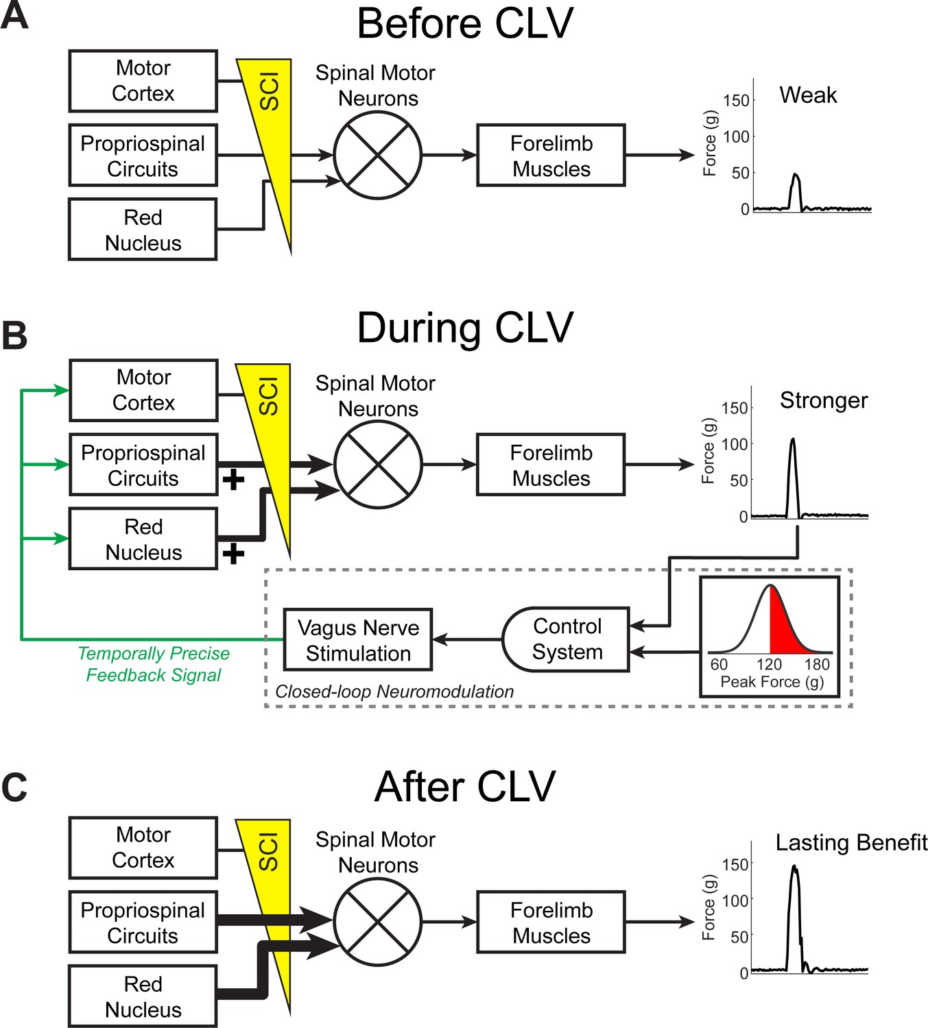 Closed Loop Neuromodulation Restores Network Connectivity And Motor Block Diagram For Control System Clv Drives Plasticity In Remaining Networks To Support Recovery After Bilateral Sci