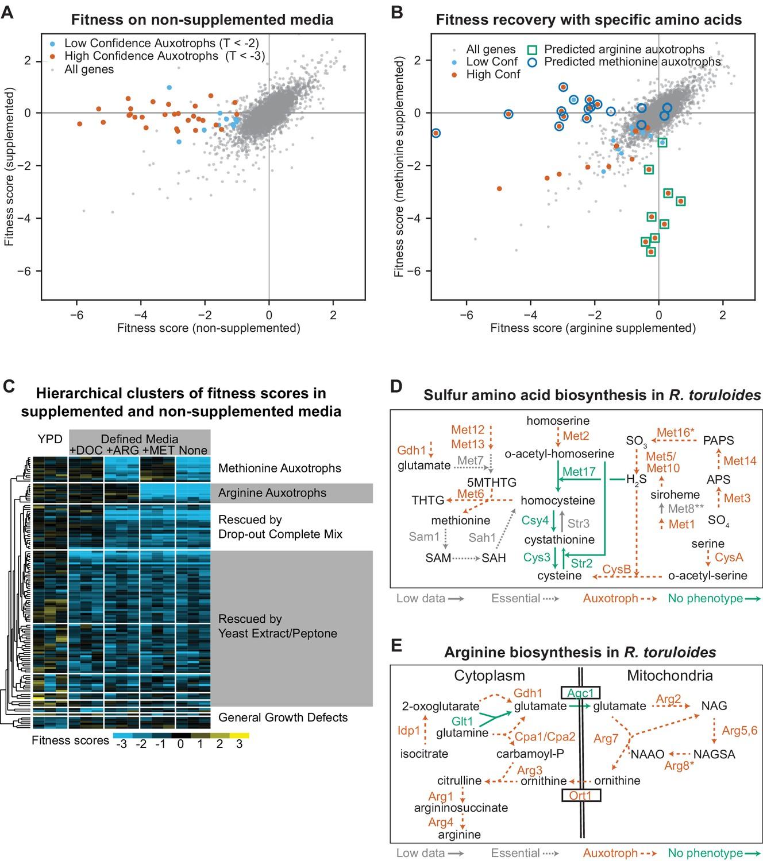 Functional genomics of lipid metabolism in the oleaginous yeast
