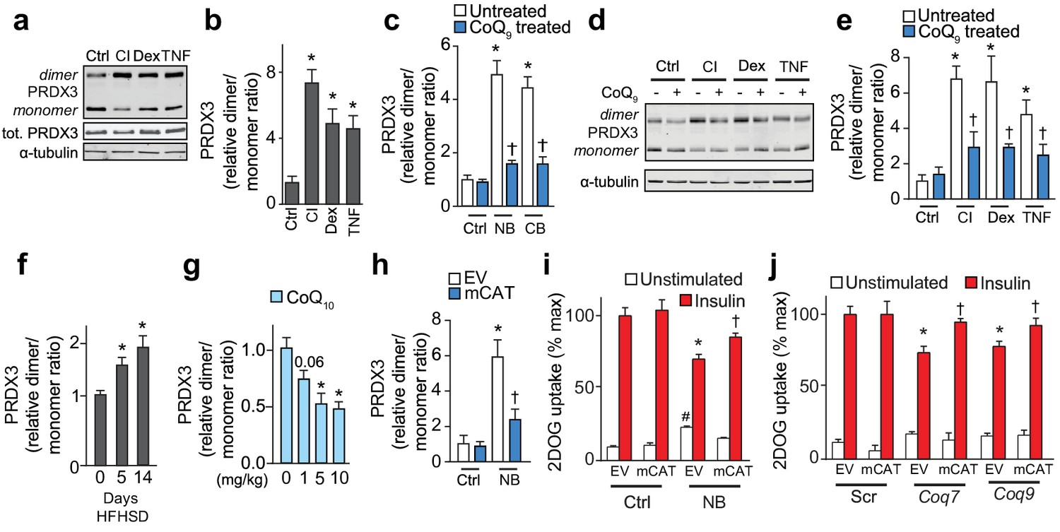 Mitochondrial CoQ deficiency is a common driver of mitochondrial