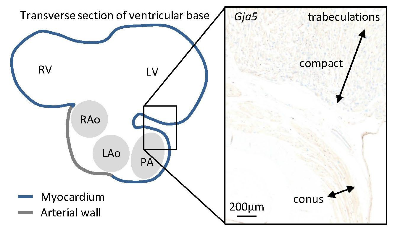 Specialized Impulse Conduction Pathway In The Alligator Heart Elife Bird Diagram Juvenile Alligators Gja5 Expression Was Found Throughout Trabecular Ventricle And Substantial Compact Myocardium More Than 05 Mm Thick