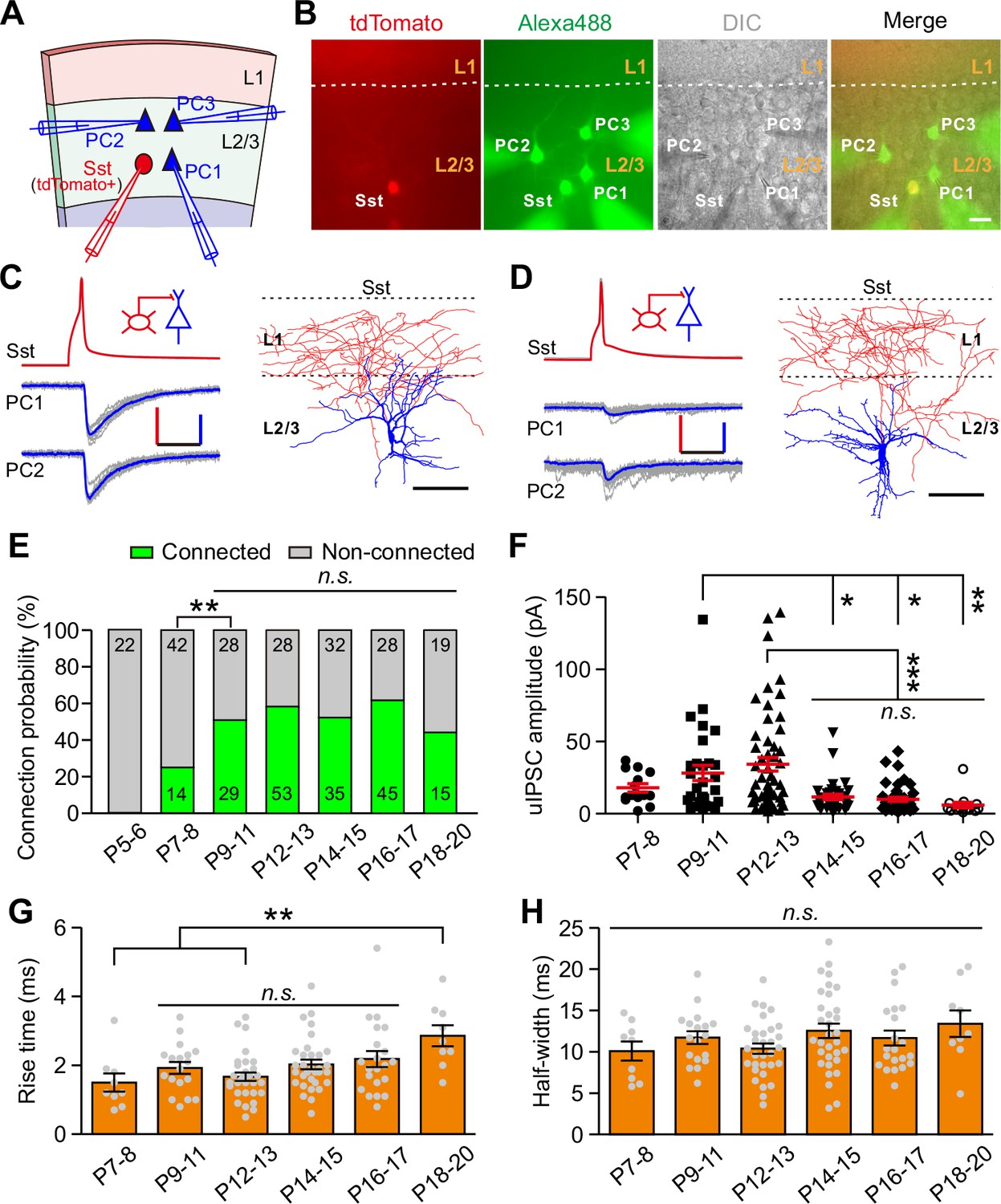 Eye Opening Differentially Modulates Inhibitory Synaptic Case 430 Ck Wiring Diagram Development Of Transmission From Sst Ins Onto Pcs In Layer 2 3 The Visual Cortex