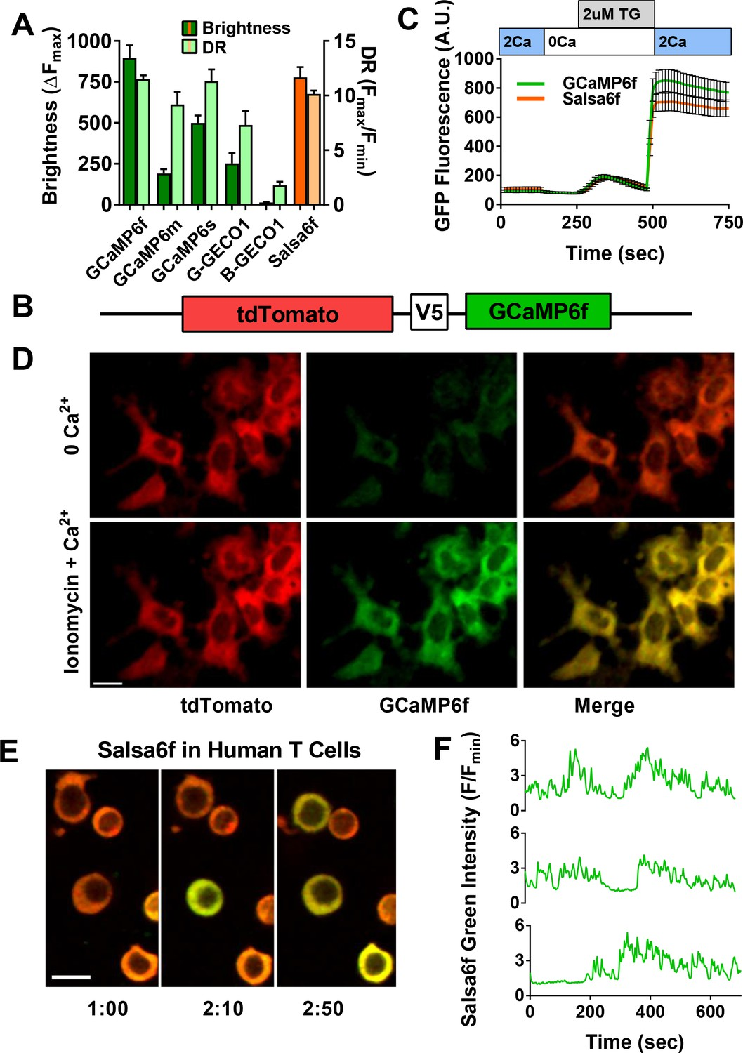 T-cell calcium dynamics visualized in a ratiometric tdTomato