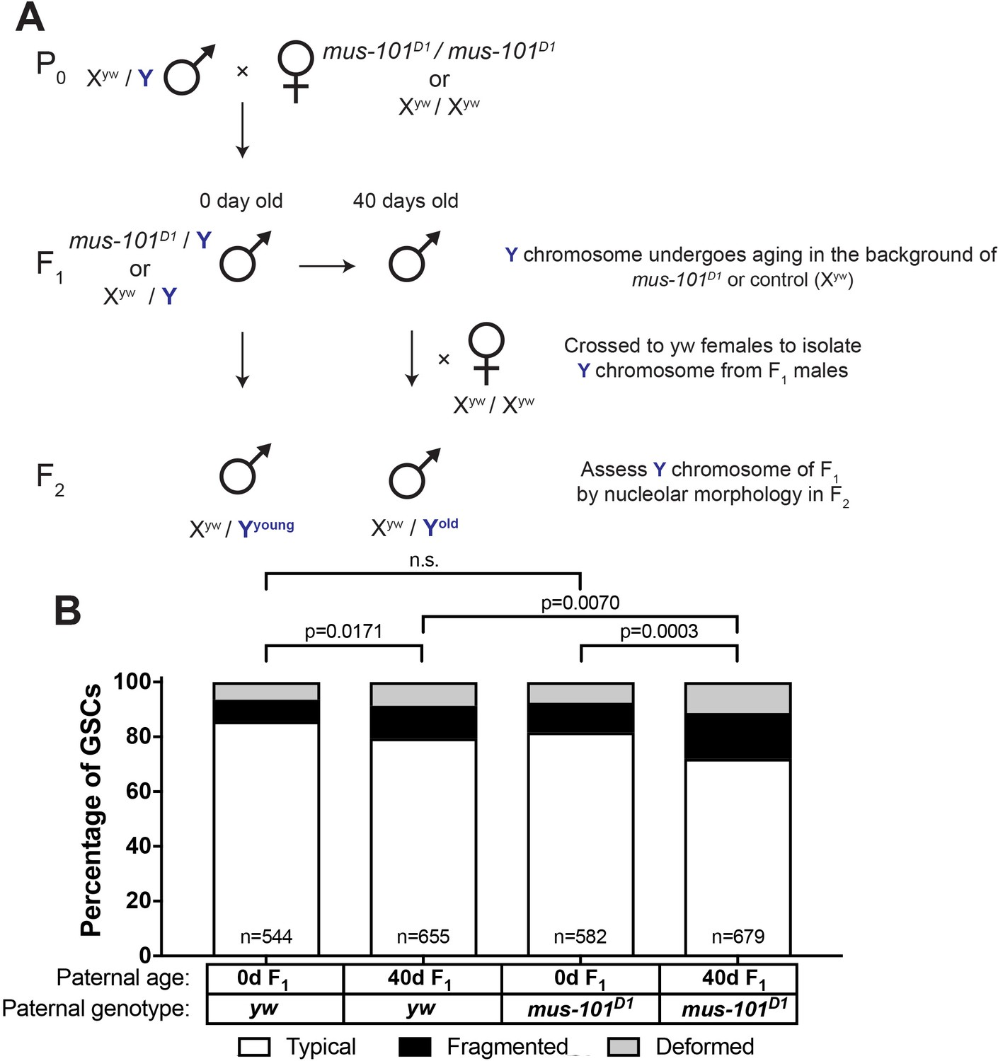 mus 101 is required for rDNA maintenance during aging