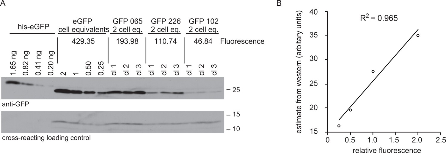 Codon Choice Directs Constitutive Mrna Levels In Trypanosomes Elife