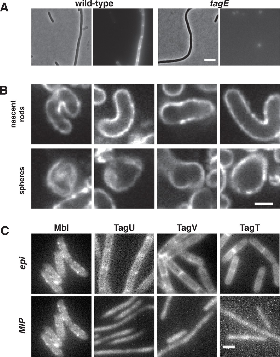 Mreb Filaments Align Along Greatest Principal Membrane Curvature To In This Illustration The Prokaryotic Cell Is Rod Shaped Circular Cona Staining Of Cells During Shape Recovery And Localization Wta Ligases
