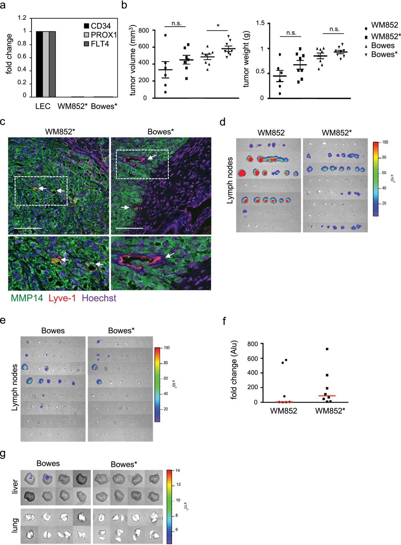 Lymphatic endothelium stimulates melanoma metastasis and
