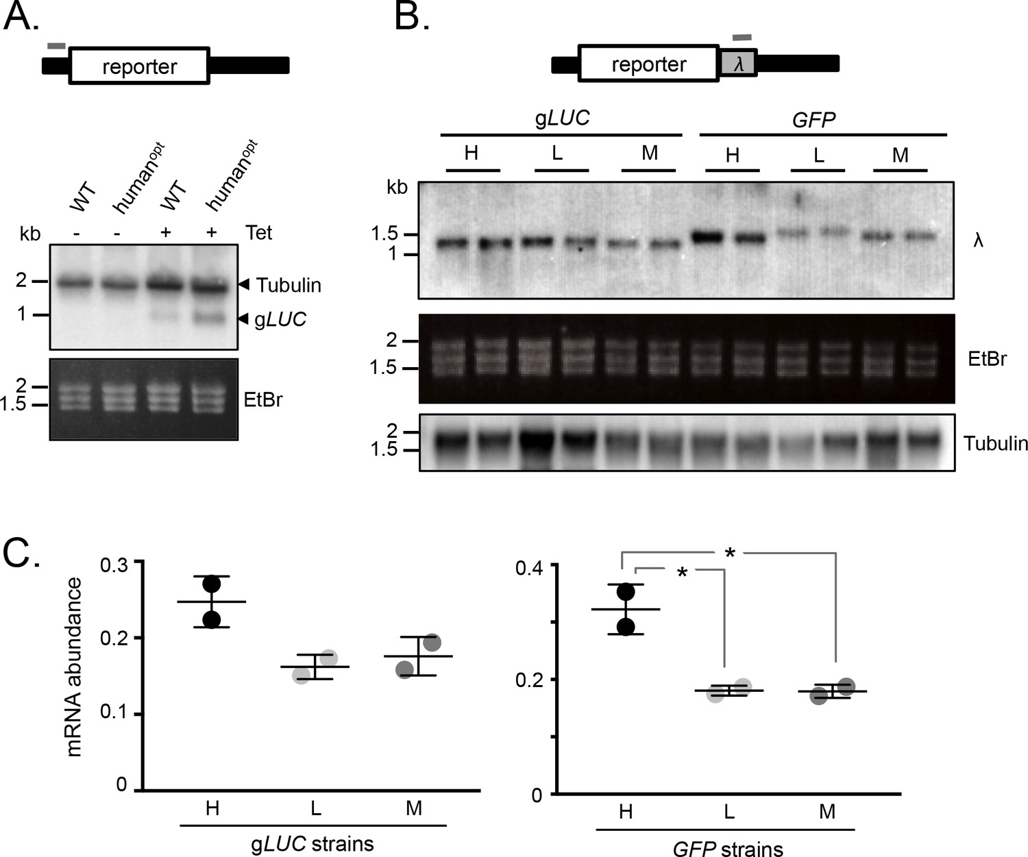 Codon usage bias controls mRNA and protein abundance in