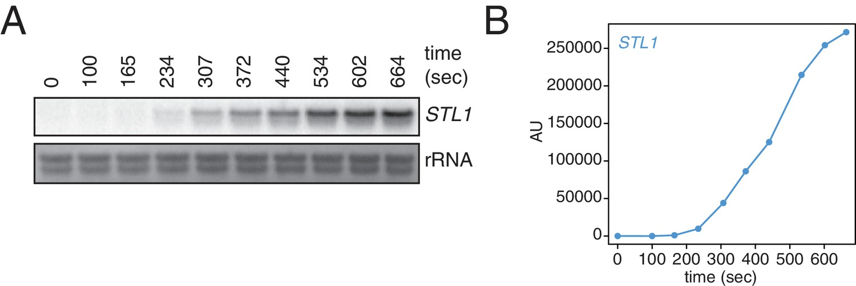 Non-invasive measurement of mRNA decay reveals translation