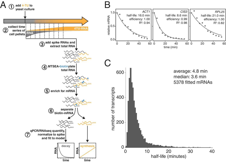 Non-invasive measurement of mRNA decay reveals translation ... 2aa975b9af2d