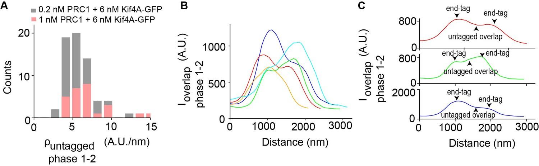 Geometry of antiparallel microtubule bundles regulates relative