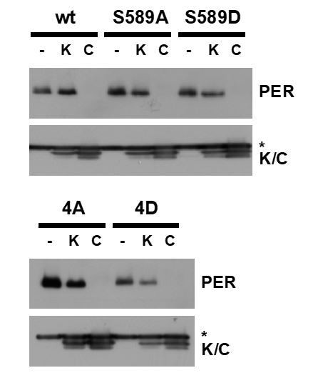 ck1 doubletime activity delays transcription activation in the circadian clock elife. Black Bedroom Furniture Sets. Home Design Ideas