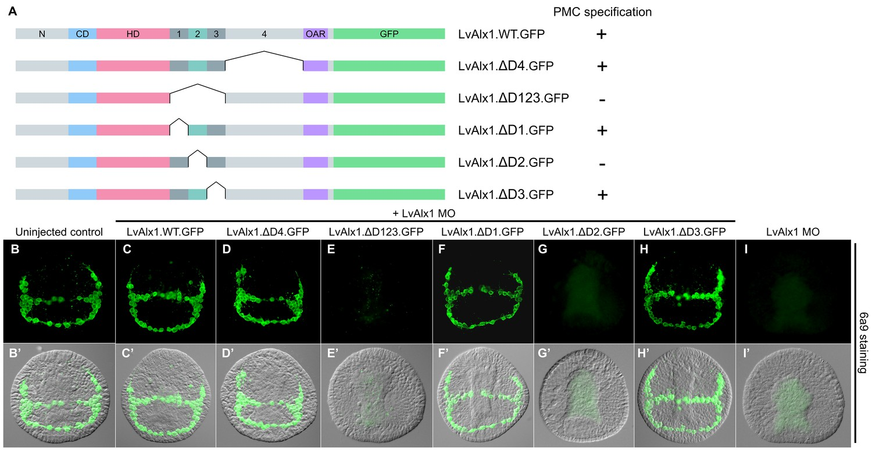 Functional divergence of paralogous transcription factors