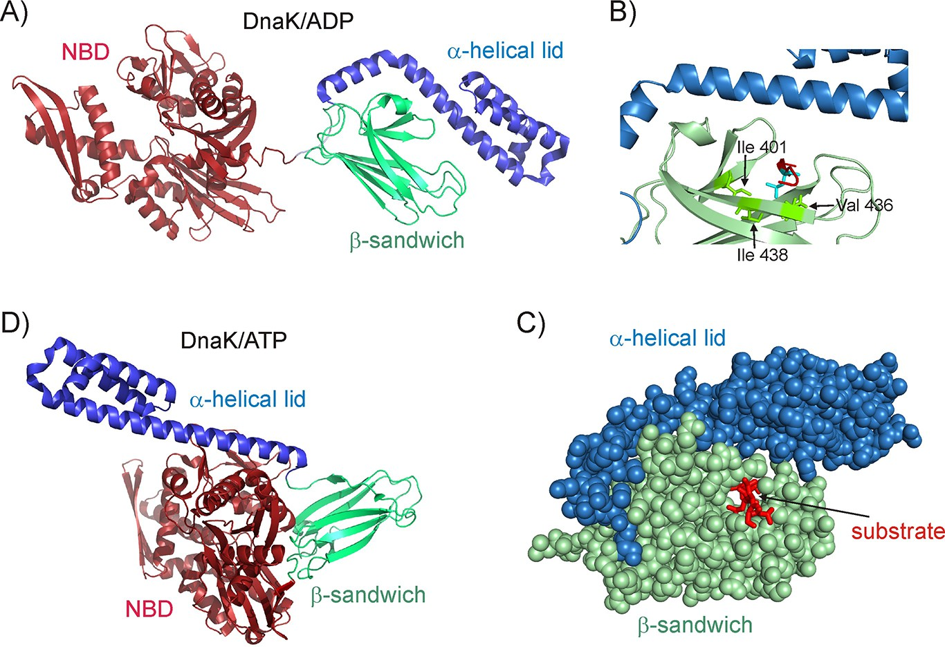 Conserved conformational selection mechanism of Hsp70