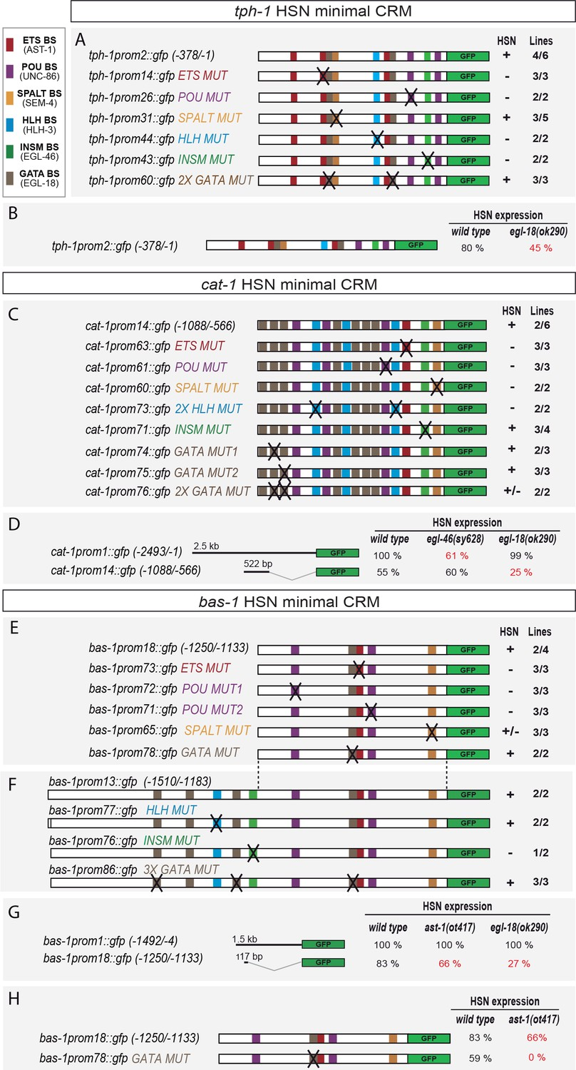 Hsn Transcription Factor Combination Acts Directly On Target Genes