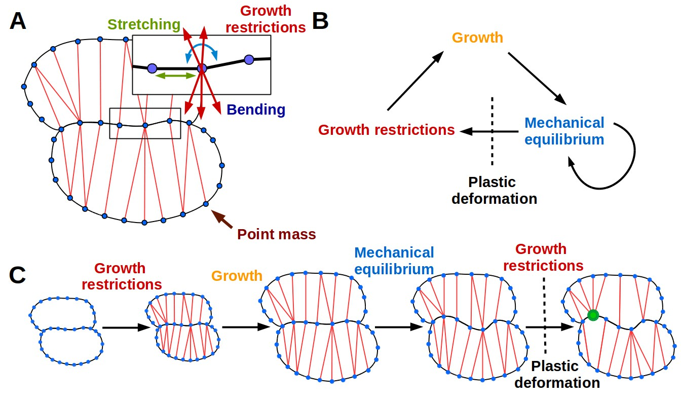 Why Plants Make Puzzle Cells And How Their Shape Emerges Elife Figure Depicts The Typical Structures Of A Eukaryotic Plant Cell 2d Model