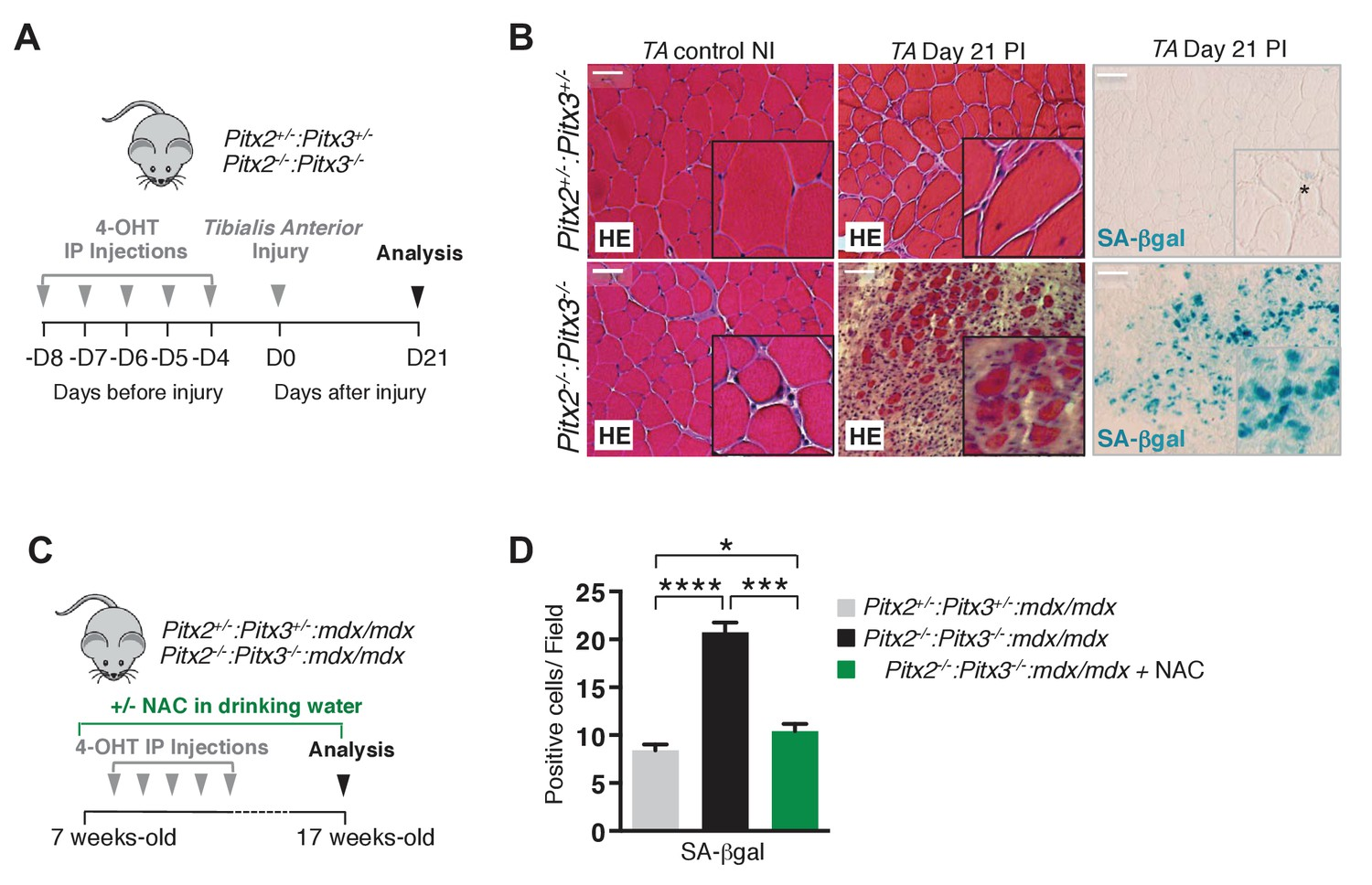The Role Of Pitx2 And Pitx3 In Muscle Stem Cells Gives New Insights Diagram Furthermore Rv Freshwater System On Water Line Mutation 3 Adult Satellite Leads To Impairment Regeneration By Deregulation Their Redox State