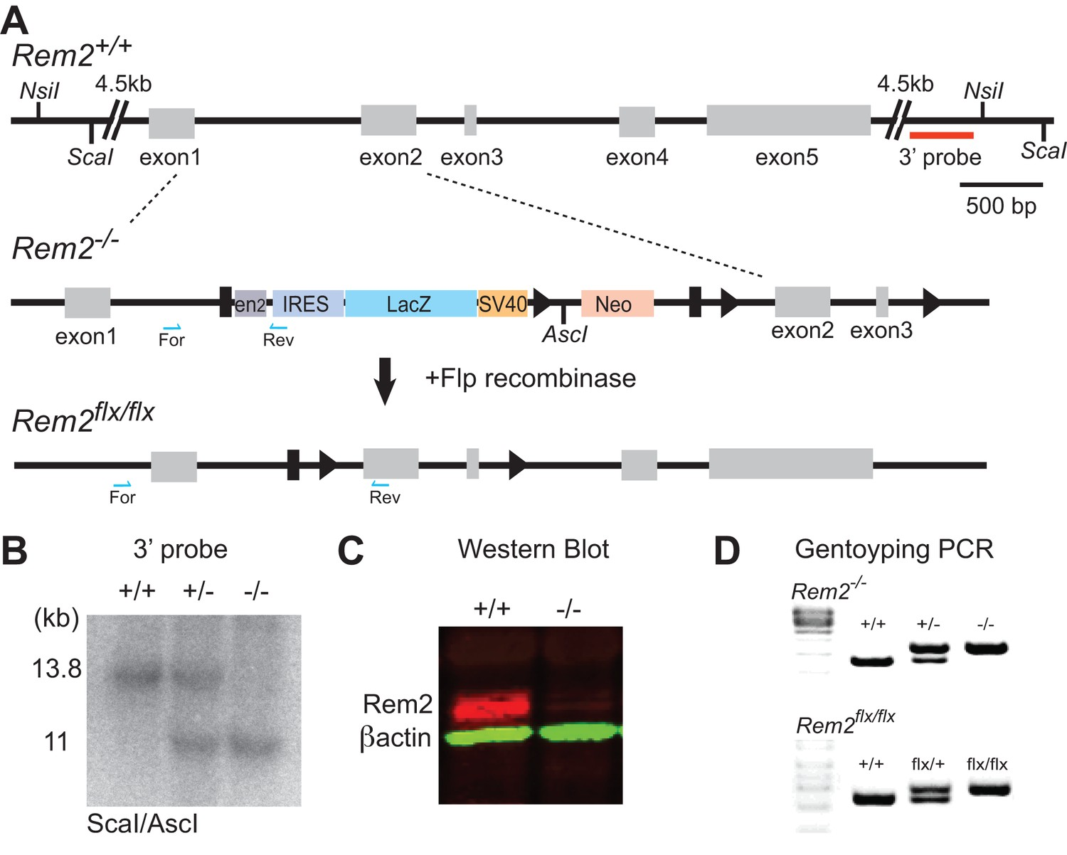 Rem2 Stabilizes Intrinsic Excitability And Spontaneous Firing In R Rc Circuit Diagram Generation Of A Knockout Mouse