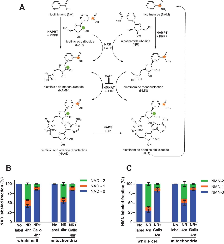 Nicotinamide adenine dinucleotide is transported into