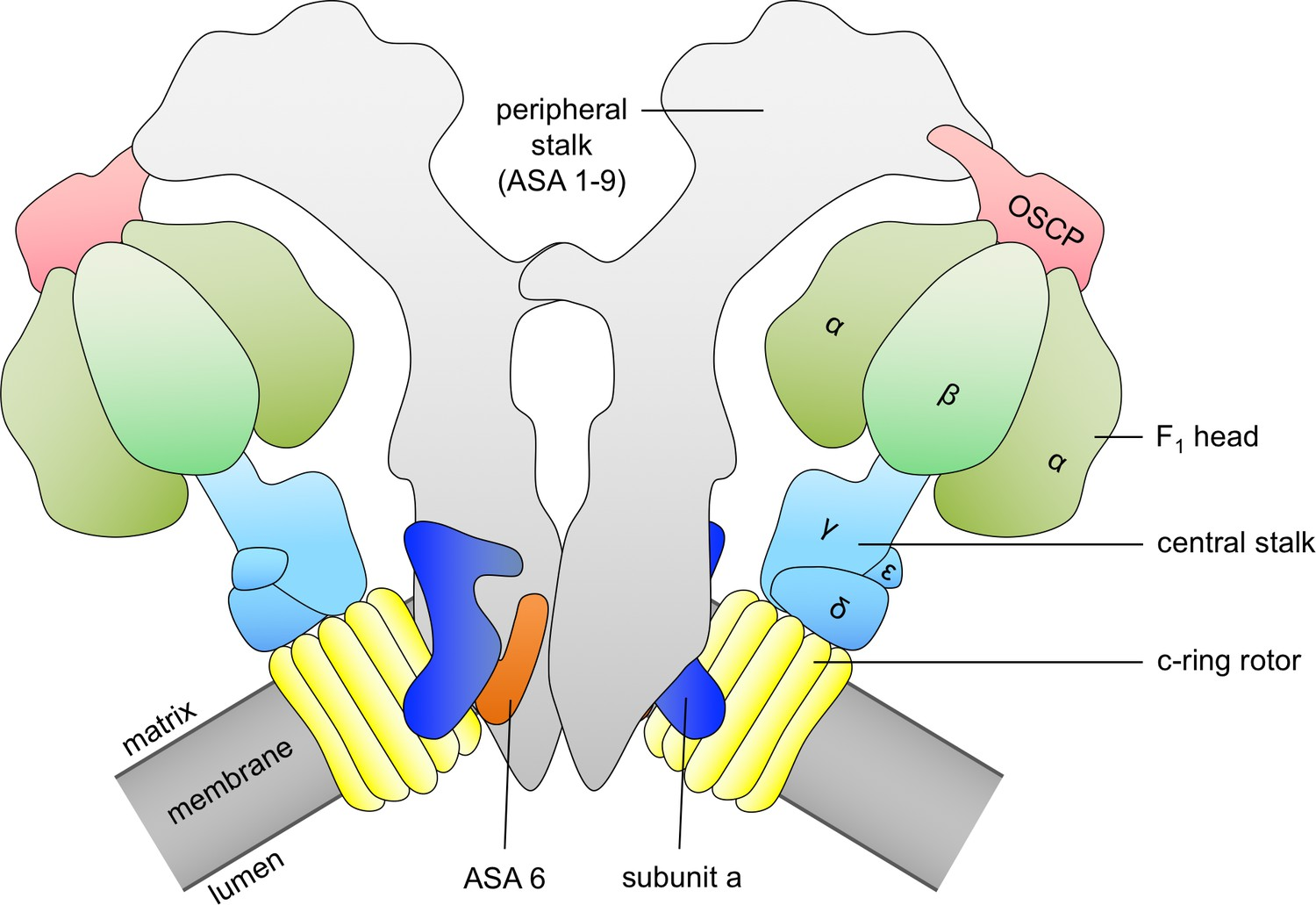 Structural basis of proton translocation and force