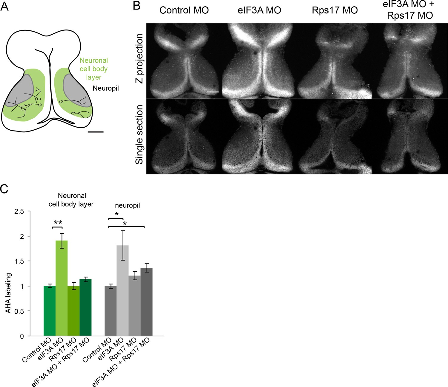 Role Of The Visual Experience Dependent Nascent Proteome In Neuronal Labeled Animal Cell Diagram Related Keywords Suggestions Eif3a And Rps17 Regulate Protein Synthesis Tadpole Tectum