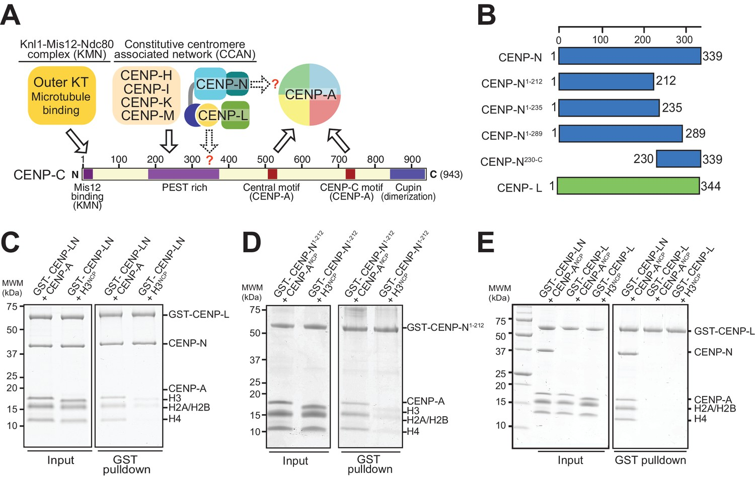 Decoding The Centromeric Nucleosome Through Cenp N Elife Schematic Symbols Electrical Motor Control Submited Images Interaction Of With Nucleosomes