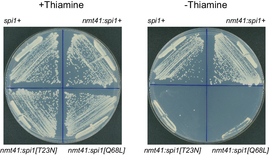 Exportin Crm1 is repurposed as a docking protein to generate