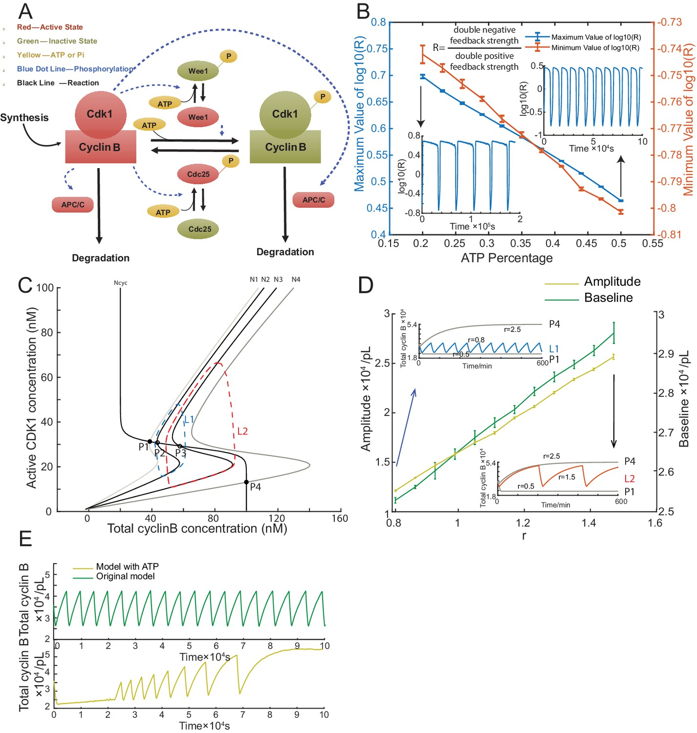 Figures and data in A robust and tunable mitotic oscillator