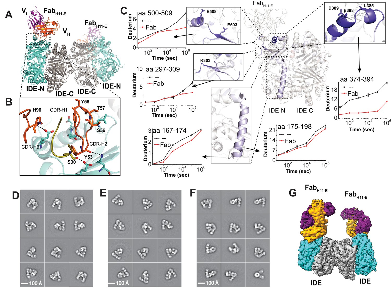 Ensemble cryoEM elucidates the mechanism of insulin capture