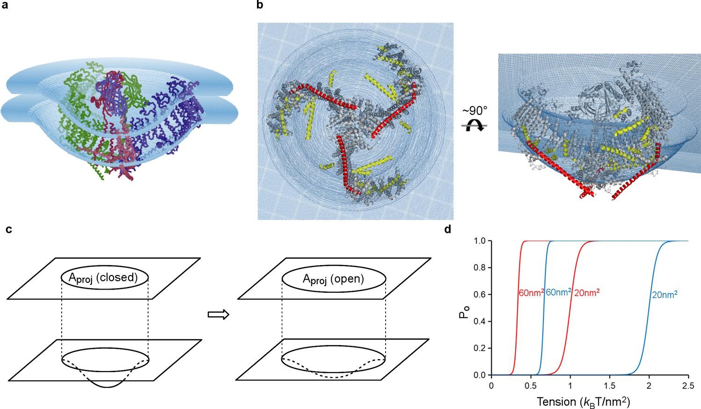 Structure Based Membrane Dome Mechanism For Piezo Mechanosensitivity Rainbow Se Series Vacuum Wiring Diagram Model Of Tension Gating In Mpiezo1
