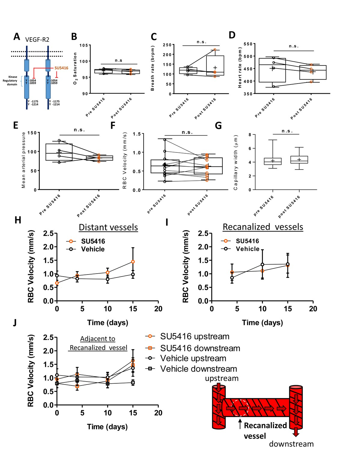 VEGF signaling regulates the fate of obstructed capillaries