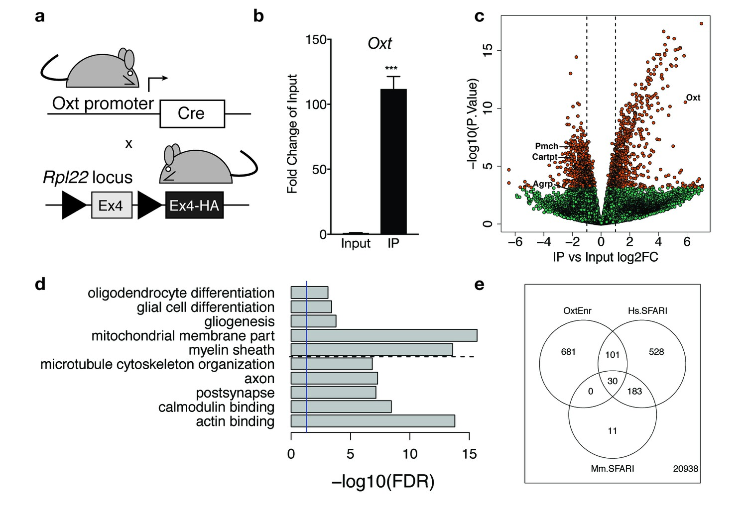 BDNF-TrkB signaling in oxytocin neurons contributes to