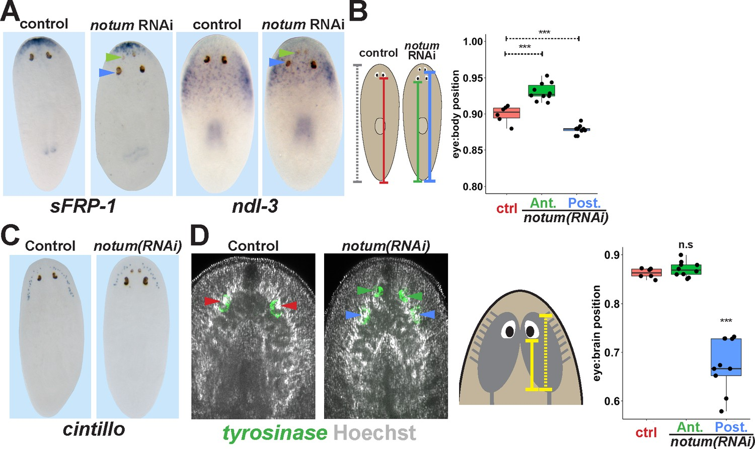 non-regenerative eyes are mispositioned with respect to positional control  genes and the brain