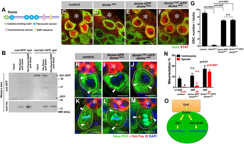 Cytokine receptor-Eb1 interaction couples cell polarity and